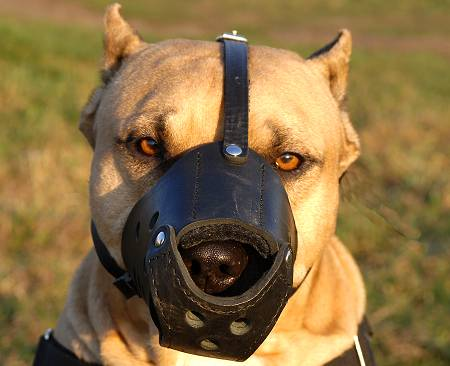 Leather Dog Muzzle for American Staffordshire Terrier