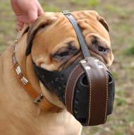 Bullmastiff dog muzzle