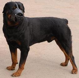 Leather Dog Muzzle For Rottweiler - Custom Dog Muzzle M51